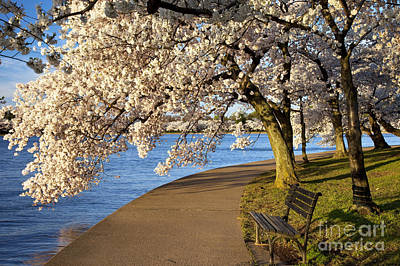 Photograph - Blossoming Cherry Trees by Brian Jannsen