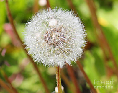 Photograph - Blow Me Away Dandelion Seeds by Donna L Munro