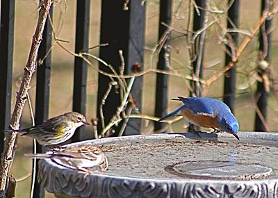 Photograph - Blubird With Yellow-rumped Warbler And Chipping Sparrow by Jeanne Kay Juhos