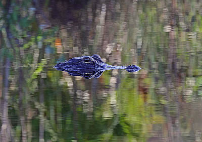Reptiles Royalty-Free and Rights-Managed Images - Blue Alligator by Juergen Roth