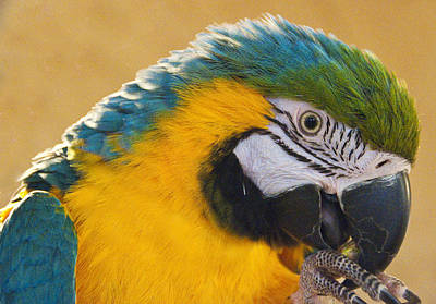 Its A Piece Of Cake - Blue and Gold Macaw Foot in Mouth by Steven Natanson