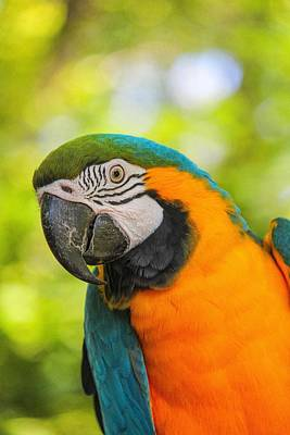 Art Print featuring the photograph Blue And Gold Macaw by Peter Ciro