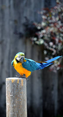 Photograph - Blue And Gold Macaw by Rafay Zafer