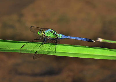 Dragonfly Photograph - Blue And Green Dragonfly Near Shore- 51006638c by Paul Lyndon Phillips