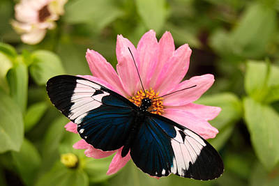 Bear Photography Rights Managed Images - Blue and White Longwing Butterfly Royalty-Free Image by Eva Kaufman