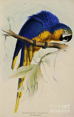 Painting - Blue And Yellow Maccaw by Pg Reproductions