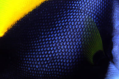Photograph - Blue And Yellow Scales by Jennifer Bright