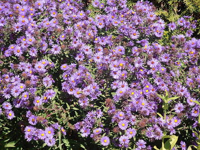 Photograph - Blue Asters 2001 Fall by Tim Donovan