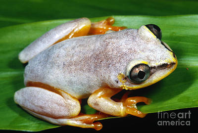Frogs Photograph - Blue Back Frog, Madagascar by Dante Fenolio