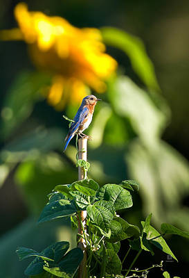 Birds Photograph - Blue Bird On The Bean Stalk by Steven Llorca