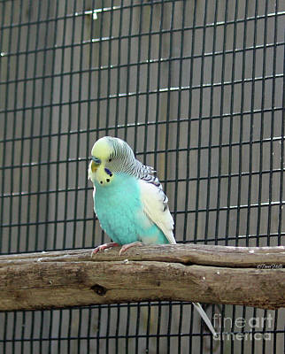 Photograph - Blue Budgie Bird by Terri Mills