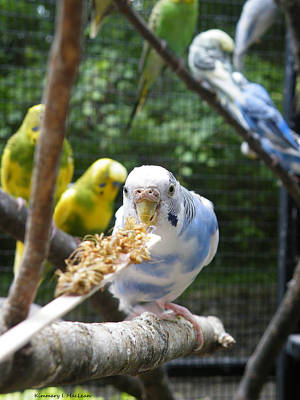 Ebsq Digital Photograph - Blue Budgie by Kimmary MacLean
