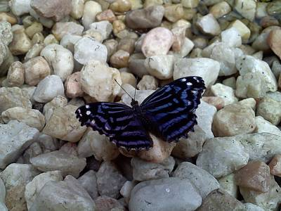 Black And Blue Butterfly With White Spots Photograph - Blue Butterfly On The Rocks by Chad and Stacey Hall