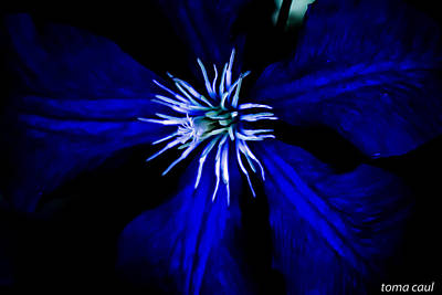 Blue  Clematis Art Print by Toma Caul