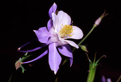 Blue Columbine Art Print