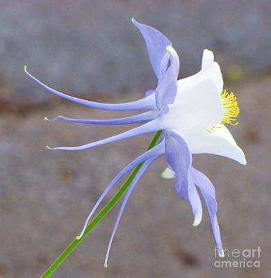 Photograph - Blue Columbine by Michele Penner