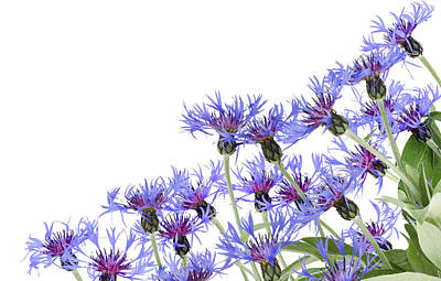Art Print featuring the photograph Blue Cornflowers Postcard by Aleksandr Volkov