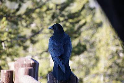 Blue Crow Original