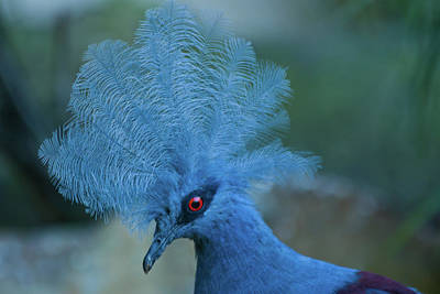 Photograph - Blue Crowned Pigeon by Roger Mullenhour