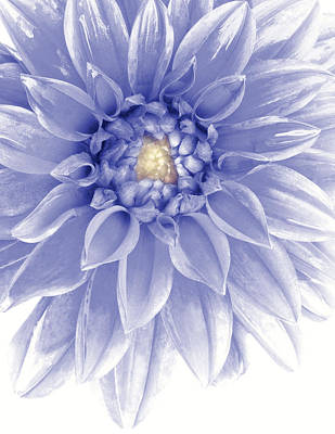 Photograph - Blue Dahlia by Al Hurley
