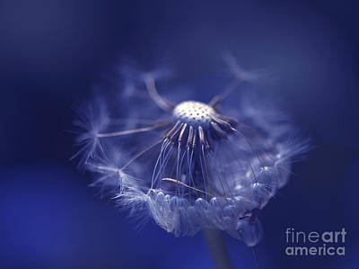 Blue Dandy Print by Sharon Talson