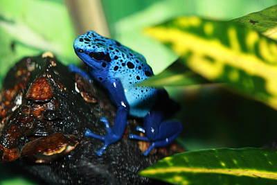 Water Droplets Sharon Johnstone - Blue Dart Frog by Paul Slebodnick