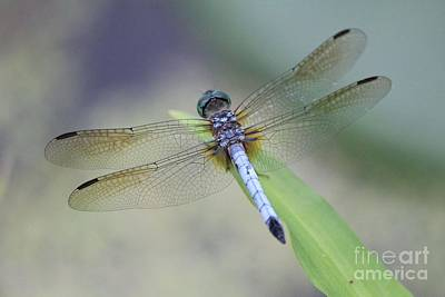 Photograph - Blue Darter Dragonfly by Lee Dos Santos