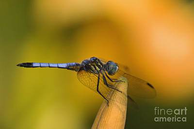 Photograph - Blue Dasher - D007665 by Daniel Dempster