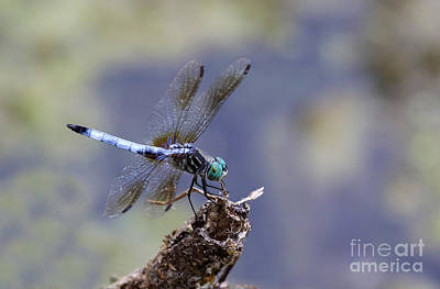 Dragonflys Photograph - Blue Dasher Dragonfly by Chris Hill