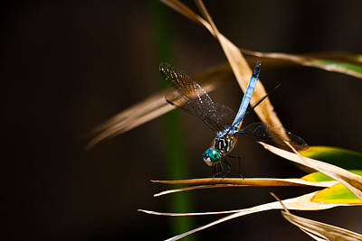 Photograph - Blue Dasher Dragonfly by Ed Gleichman