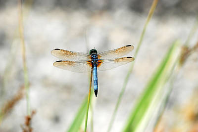 Digital Art - Blue Dasher Dragonfly by Eva Kaufman