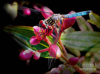 Photograph - Blue Dasher Dragonfly by Judi Bagwell