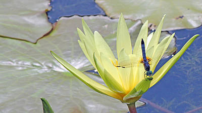 Becky Photograph - Blue Dasher Dragonfly On Yellow Waterlily by Becky Lodes