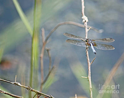 Photograph - Blue Dasher Dragonfly by Terri Mills