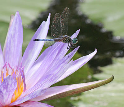 Becky Photograph - Blue Dasher Dragonfly With Iridescent Wings by Becky Lodes