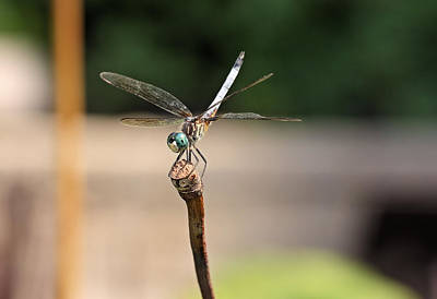 Photograph - Blue Dasher by Katherine White