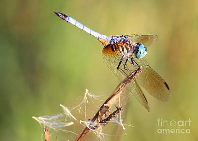 Blue Dasher Photograph - Blue Dasher On Twig by Carol Groenen