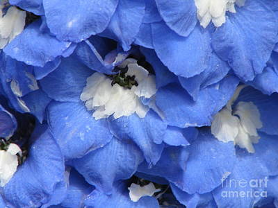 Photograph - Blue Delphinium by Michele Penner