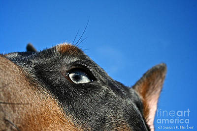 Photograph - Blue Doberman Pinscher by Susan Herber