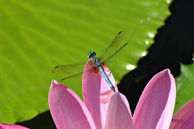 Art Print featuring the photograph Blue Dragonfly On Pink Water Lilly by Jodi Terracina