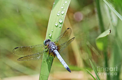 Photograph - Blue Dragonfly With Water Droplets by Terri Mills
