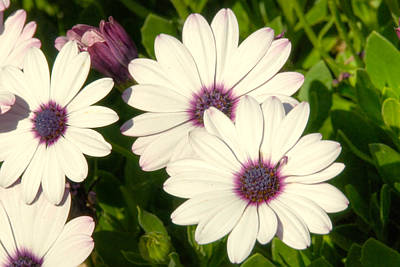 Photograph - Blue Eyed Daisies by Anthony Citro