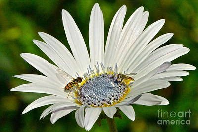 Photograph - Blue Eyed Daisy And Guests by Byron Varvarigos