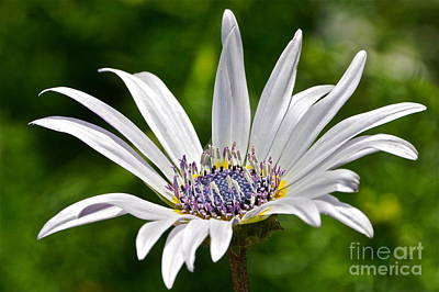 Photograph - Blue Eyed Daisy by Byron Varvarigos