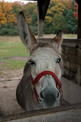 Donkey Photograph - Blue Eyed Donkey by LeeAnn McLaneGoetz McLaneGoetzStudioLLCcom