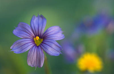 Blue Eyed Grass Art Print by Kathy Yates