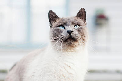 Siamese Photograph - Blue Eyed Siamese Cat Looking Up by (c) K. Miller Photographs