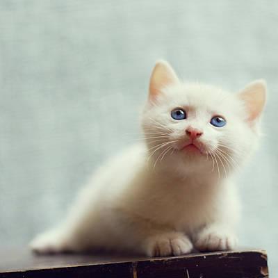 Blue Eyed White Coated Kitten Art Print by Nga Nguyen