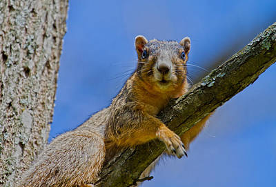 Fox Squirrel Photograph - Blue Eyes by Betsy Knapp