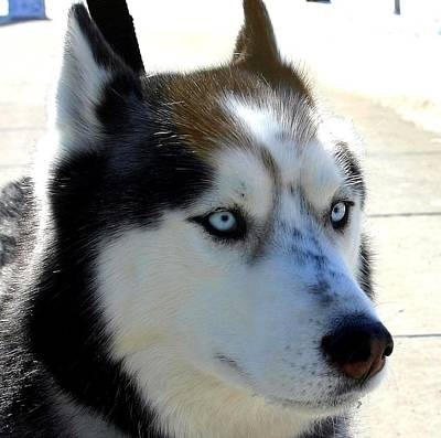Huskie Wall Art - Photograph - Blue Eyes by Laurie Prentice